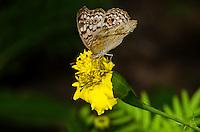 A Grey Pansy butterfly (Junonia atlites). (Cambodia)