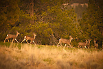 Herd of Mule Deer running from the camera, Adin, Northeastern California.