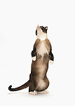 Snowshoe Cat - Male - Standing on Hind Legs