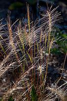Elymus elymoides, Squirreltail Bottlebrush, California native grass in Sierra meadow (aka Sitanion hystrix)