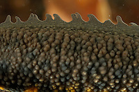 Close up of skin on a male Great Crested Newt (Triturus cristatus).