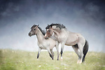 Pair of grullo Pryor Mountain wild mustangs, bachelors, play fighting in pasture