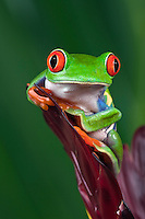Red-eyed Tree Frog (Agalychnis callidryas).