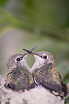 La Jolla, California;  two, two week old Anna's Hummingbird (Calypte anna) chicks, sitting in their nest, waiting to be fed