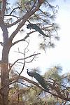 Green Peafowl