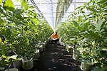 Staff check the nutrient levels of tomatoes grown hydroponically in greenhouses in Sendai, Miyagi Prefecture, Japan on 12 Mar., 2012. .Photographer: Robert Gilhooly