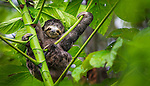 Three-toed sloth (Bradypus variegatus)<br /> Manu National Park, Peru<br /> The three-toed sloth moves deliberately through the canopy of the South American Amazon.  These unassuming leaf-eaters are known for hanging upside down and exhibiting extraordinary lassitude--evolutionary traits that enable them to avoid the notice of sharp-eyed birds of prey.  The harpy eagle often dines upon the sloths, which weigh only seven to ten pounds.