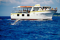 Long-snouted Spinner Dolphin, Stenella longirostris, leaping in front of Coral Sea, dolphin & whale watching boat, Kona, Big Island, Hawaii, Pacific Ocean