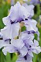 Bearded Iris 'Codicil' (S. Innerst, 1984). Crossbred from ('Appalachian Spring' x 'Navy Strut') x 'Evening Echo'.