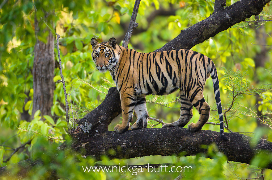 Adolescent male Bengal Tiger  (Panthera tigris tigris) (around 15 months) climbing a tree. Bandhavgarh NP, Madhya Pradesh, India.