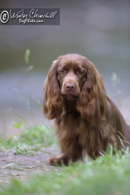 Sussex Spaniel<br />
