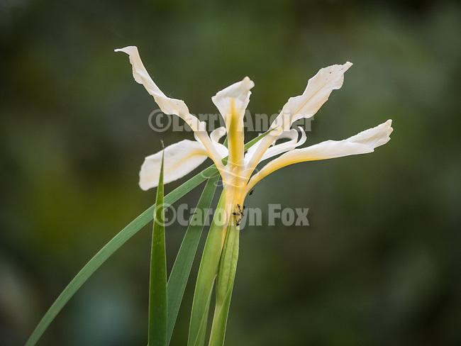 Yellow iris spring wildflowers along Sutter Creek, Amador County, Calif.