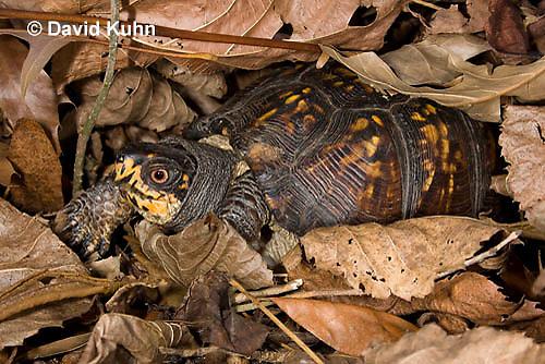 1003-0809  Male Eastern Box Turtle Under Leaves - Terrapene carolina © David Kuhn/Dwight Kuhn Photography.