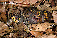 1003-0809  Male Eastern Box Turtle Under Leaves - Terrapene carolina © David Kuhn/Dwight Kuhn Photography.
