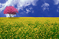 Meadow of wild mustard flowers, Brassica sp,  with blooming pink crabapple tree,  Malus sp.