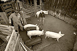 The pigs are gathered and ready to process during the annual post-Christmas pig slaughter and processing at the Cuneo Ranch near Clinton, Calif.