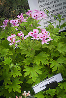 Pelargonium 'Lemon Fancy' (Scented geranium) in pink flower, aromatic foliage leaves annual plant