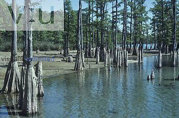 Low water in a lake bordered by Bald Cypress trees, showing the Cypress knees, Florida, USA.