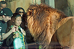 A Lady meets a Lion through the viewing glass at San Diego Wild Animal Park.