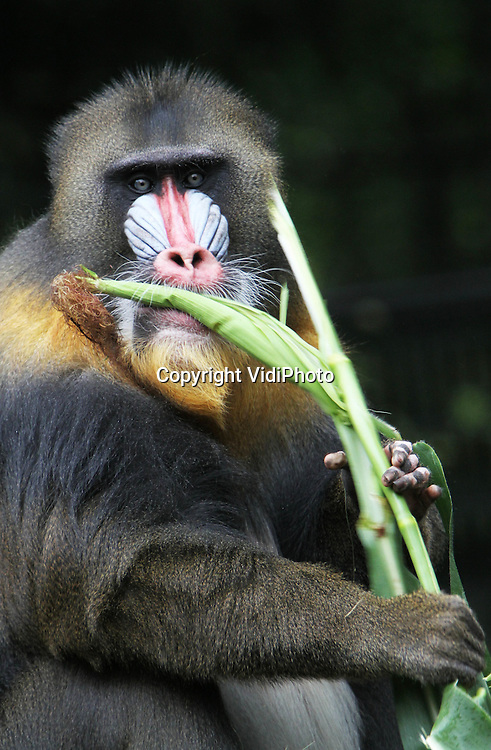 Foto: VidiPhoto..RHENEN - Fruit is vanaf woensdag taboe voor de apen van Ouwehands Dierenpark in Rhenen. Het suiker in fruit tast de tanden van de dieren aan. Om tandbederf tegen te gaan, krijgen de apen alleen nog maar gezond en vezelrijk voedsel. Woensdag werden de mandrils van Ouwehands getracteerd op 'gebitsvriendelijke' maïsstengels. De tanden van de dieren werden daarbij flink aan het werk gezet. De dierentuin krijgt de maïs gratis van een akkerbouwer uit de buurt..