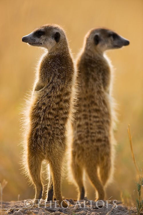Meerkat, Suricate (Suricata suricatta), sentinels looking out for predators, Botswana, Kalahari, Makgadikgadi Pans National Park