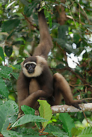 Dark-handed or Agile Gibbon (Hylobates agilis), Camp Leaky, Tanjung Puting National Park,  Kalimantan, Borneo, Indonesia.