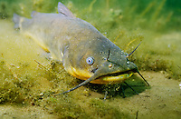 Black Bullhead, underwater
