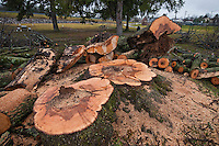 Large maple tree at water's edge at Hoover Reservoir near Westerville Ohio was cut down after it was damaged during a recent wind storm.