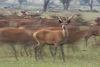 Red deer (Cervus elaphus) stags on the move. Oostvaardersplassen, Netherlands. Mission: Oostervaardersplassen, Netherland, June 2009.