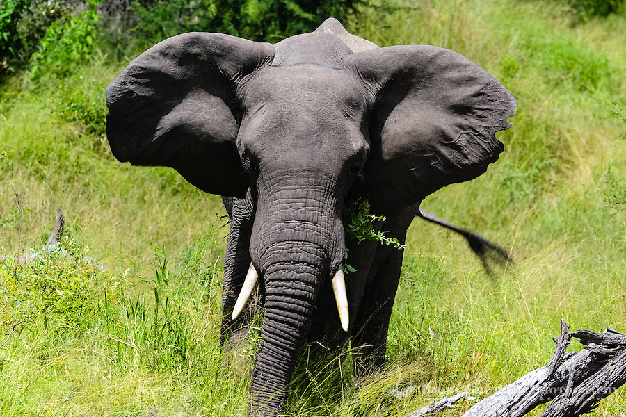 African Bush Elephant with calf. Kruger National Park, the largest game reserve in South Africa.
