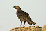 Thick Billed Raven, Corvus crassirostris, Simien Mountains National Park, Ethiopia, blue sky background, cut out, Africa