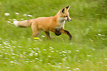 A red fox kit running through a meadow in Wyoming.