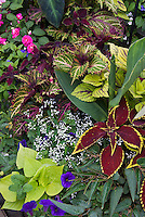 Solenostemon coleus mixture, Euphorbia Diamond Frost in white flowers, Ipomoea Margarita, double flowered Impatiens, Calibrachoa, Begonia boliviensis, annuals planting combination in container, flowers and foliage annuals garden