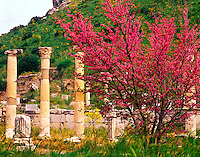 Redbud tree and The Palace of the Council Ephesus Greek ruins Aegean Sea ,Turkey Huge lonian and roman city founded 11 century BC by the Amazons 45 H IC