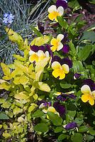 Viola Sorbet and yellow oregano herb Origanum vulgare 'Aureum', Myosotis forget me nots in spring planting combination of edible flowers, herbs and foliage
