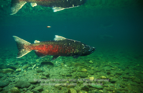 Photo GX-528. Chinook Salmon (Oncorhynchus  tshawytscha). Washington, USA...Photo Copyright © Brandon Cole. All rights reserved worldwide.  www.brandoncole.com..This photo is NOT free. It is NOT in the public domain..Rights to reproduction of photograph granted only upon payment in full of agreed upon licensing fee. Any use of this photo prior to such payment is an infringement of copyright and punishable by fines up to  $150,000 USD...Brandon Cole.MARINE PHOTOGRAPHY.http://www.brandoncole.com.email: brandoncole@msn.com.4917 N. Boeing Rd..Spokane Valley, WA  99206  USA.tel: 509-535-3489.