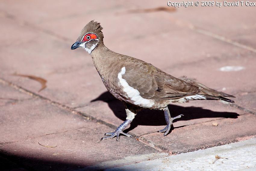 Partridge Pigeon, Jabiru Camp, Kakadu NP, NT, Australia