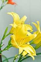 Hemerocallis daylily yellow golden flowers in summer bloom against wall