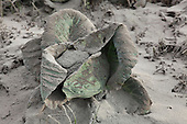 Cabbage coated in volcanic ash, Sinabung Volcano, Sumatra, Indonesia