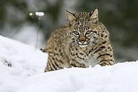 Bobcat walking over a snowy hill - CA