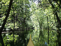 NWA Democrat-Gazette/FLIP PUTTHOFF<br /> The high level of Beaver Lake has created micro swamps that can be explored by kayak. This one is seen July 12 2015  at the back of Van Winkle Hollow at Hobbs State Park-Conservation Area.