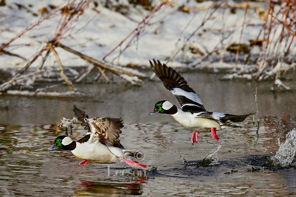 Two Bufflehead duck drakes (Bucephala albeola) taking flight.  Klamath Basin, Oregon-California border.  Late winter.