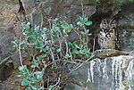 Cape eagle owl, Samburu National Reserve, Kenya