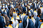 King Penguins, South Georgia Island, UK