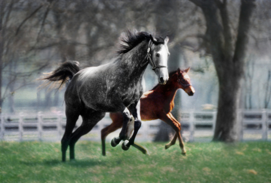 A mare and her foal play in a Kentucky Bluegrass horse farm pasture in early spring. When I asked the owner how big his farm was he pointed in one direction and said, &quot;The farm goes for as far as you can see.&quot; Then he repeated that once for each of the remaining points on the compass. Photographed in 1990. This is a scan from an original transparency.<br /> <br /> JimMendenhallPhotos.com 2014