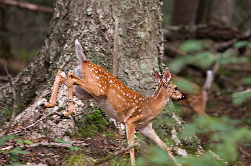 Whitetail deer fawn at Sylvania Wilderness Area of Ottawa National Forest near Watersmeet Michigan.