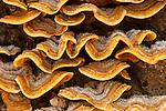 Close-up of a shelf fungus (Stereum hirsutum), California