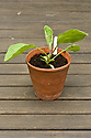 Young aubergine seedlings in clay terracotta pots, mid May.