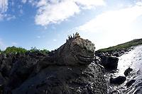 Cose up of a marine Iguana at Carola beach, galapagos Islands.