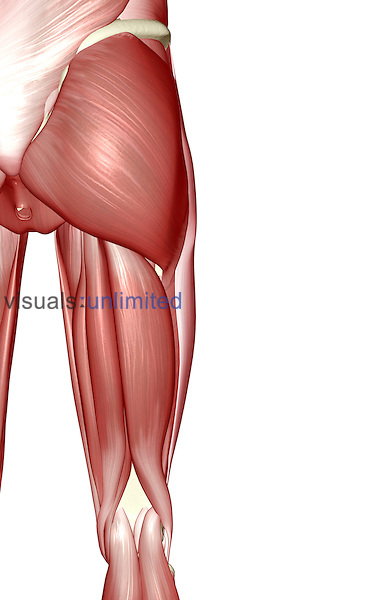 An inferior posterior view of the muscles of the right hip and lower limb. Royalty Free